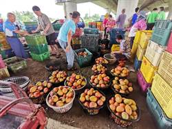穩定芒果市場價格 收購加工作業啟動
