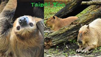 《冰原歷險記》喜德、水豚君呆萌現身!木柵動物園熱帶雨林開放了
