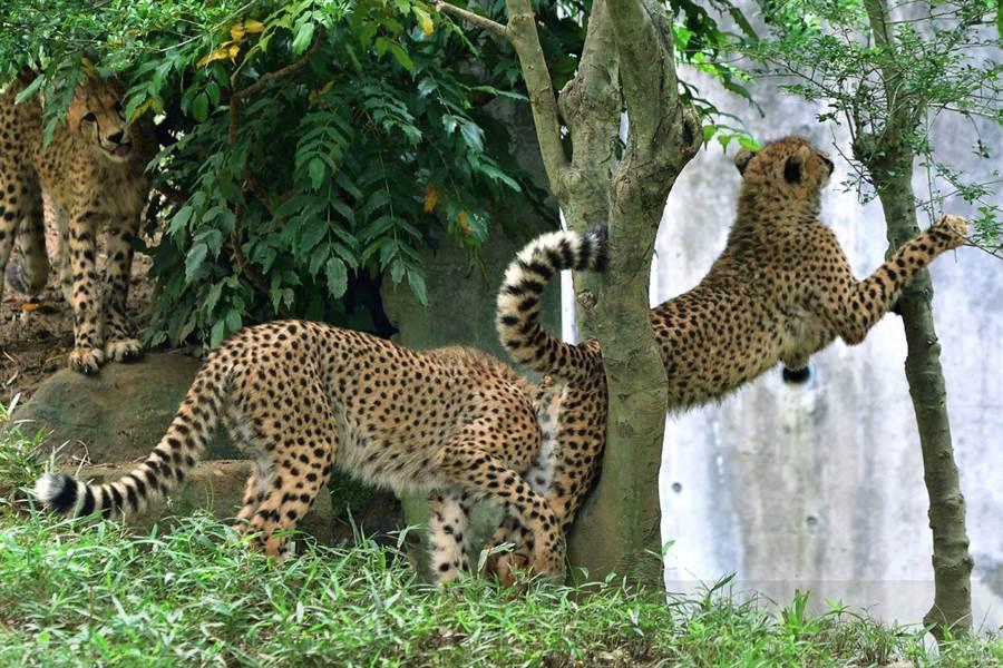 小獵豹打算直接跳過樹幹,卻遭後方同伴「扯後腿」 (圖/翻攝自twitter@nanata35047722)