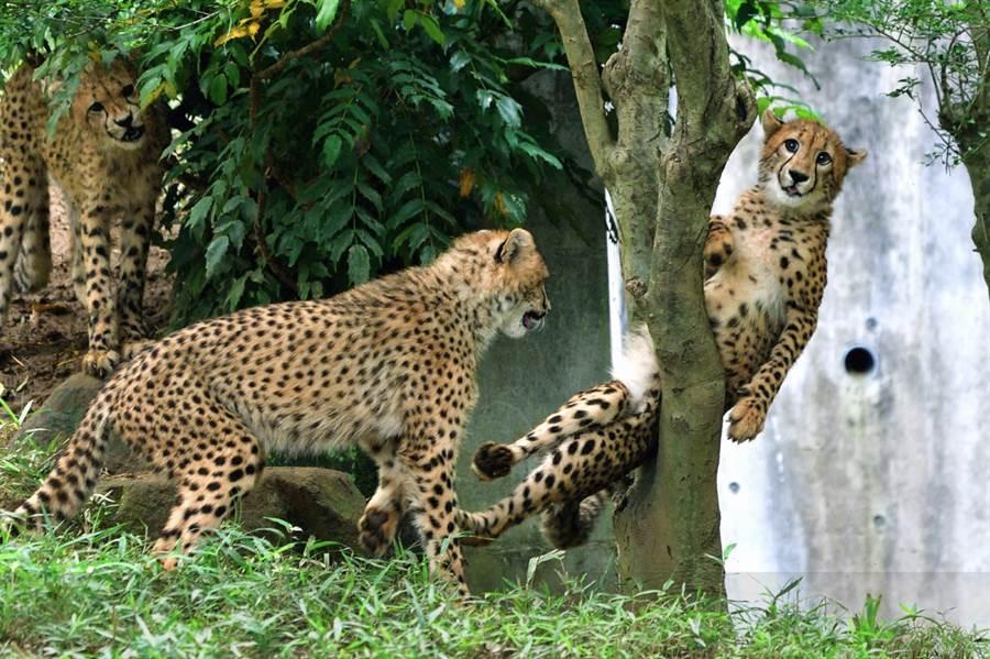 遭同伴陷害的小獵豹卡死在樹幹中,露出厭世表情 (圖/翻攝自twitter@nanata35047722)