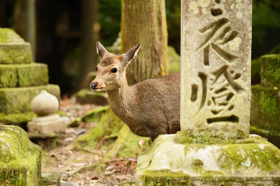 近期奈良鹿隻相繼死亡,部分鹿隻遺體內發現大量塑膠垃圾,當局認為與遊客未遵照指示、隨意餵食的方式有關。(圖/shutterstock)