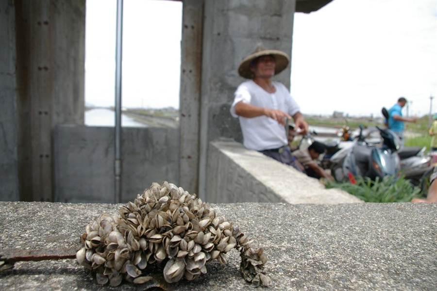 似殼菜蛤大量增生,影響沿海水閘門運作。(張朝欣攝)