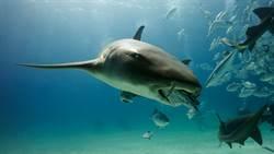 巨石斑一口吞鯊 罕見畫面專家驚呼