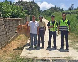 金門牛隻野外走失 警方連找2天尋獲
