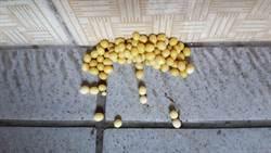 門口遭灑「黃豆」 網揭真相竟是牠的卵