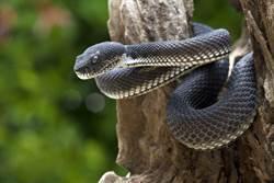 房間突傳詭音 開冷氣驚見5蛇纏繞