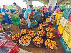 芒果盛產 收購加工穩價格