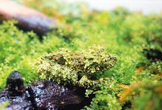 偽裝大師苔蘚蛙 動物園繁殖成功