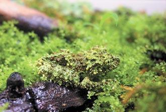 偽裝高手苔蘚蛙 首次在台繁殖