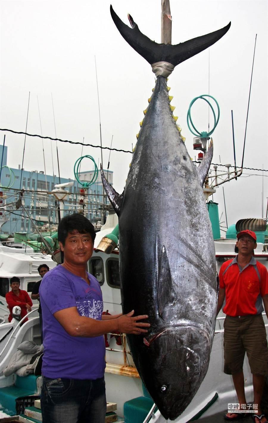 因黑鮪復育有成,學者預估今年「中西太平洋漁業管理組織」(WCPFC)北方委員會將討論增加捕撈配額。(資料照,潘建志攝)