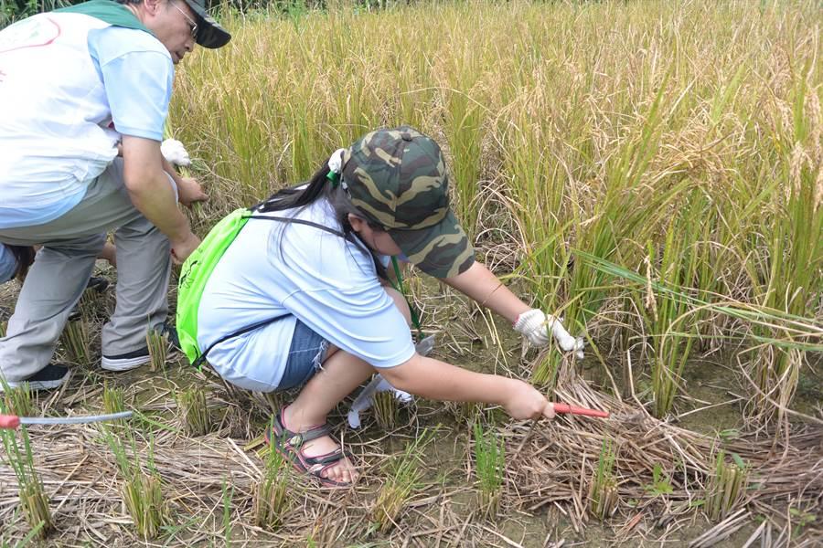 夏令營學員拿起刀具賣力收割石虎米。(巫靜婷攝)