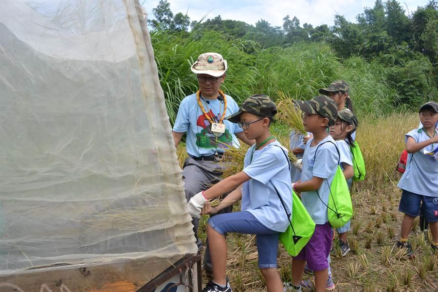 收割後的石虎米需放入手動打穀機,考驗學員手腳並用靈活度。(巫靜婷攝)