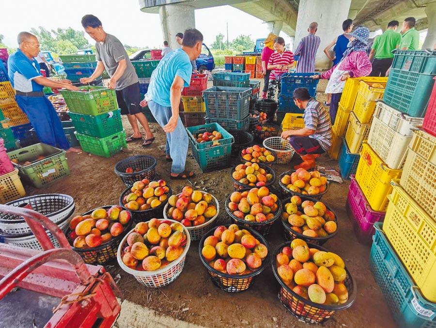 今年芒果盛產,為穩定市場價格,農委會啟動「加工果」收購計畫,並由地方農會在第一線協助執行,官田農會預計收購300公噸的芒果,當地青果市場擠滿等交貨的農民。(莊曜聰攝)