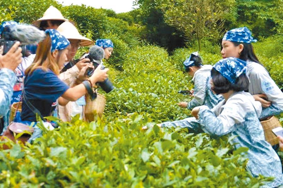 川台大學生在四川蒙頂山體驗採茶,感受川茶文化的博大精深。(四川省台辦提供)