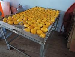 什麼!芒果也能烤來吃