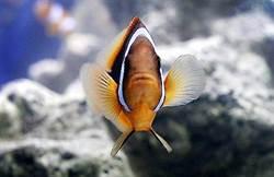 夜晚光污染 可能讓小丑魚「尼莫」沒機會出生