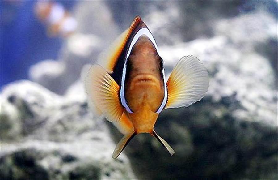 小丑魚(clownfish)。(圖/美聯社檔案照)