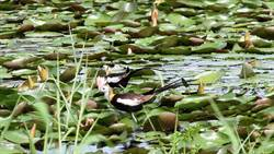 全台水雉大調查明開跑 發現水雉可向園區通報