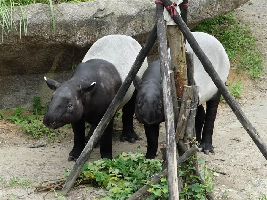 就讓我們北市動物園傳出喜事,「貘克」(圖左)、「貘芳」(圖右)成功完成交配,期盼能增添家族成員。(北市動物園提供)