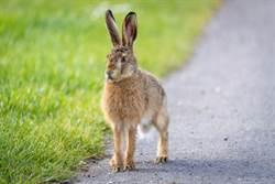 街景車捕捉飛天兔 背後原因超驚悚