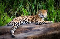 人工授精美洲豹出生 次日被媽吃了