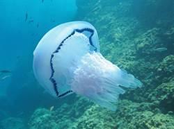 太罕見!超級水母像人那麼大