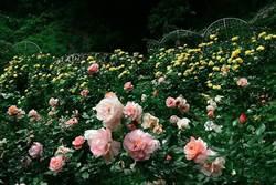 萬朵玫瑰爭奇鬥艷 憑截圖玫瑰霜淇淋免費嘗
