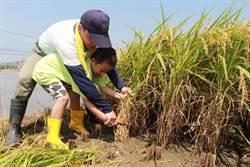 幼童割稻傳承農業精神 捐白米做公益
