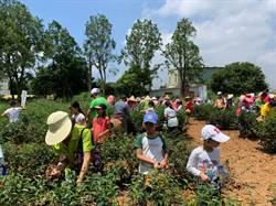 振興銅鑼圈茶產業 親子體驗採茶