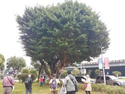 新北列管珍貴樹木 僅台北一半