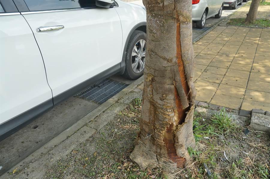 台中市一名黃姓男子,16日清晨酒後駕車,在龍富路4段、大墩十二街口,自撞路樹受傷,被撞的小葉欖仁樹則樹皮裂開。(黃國峰攝)