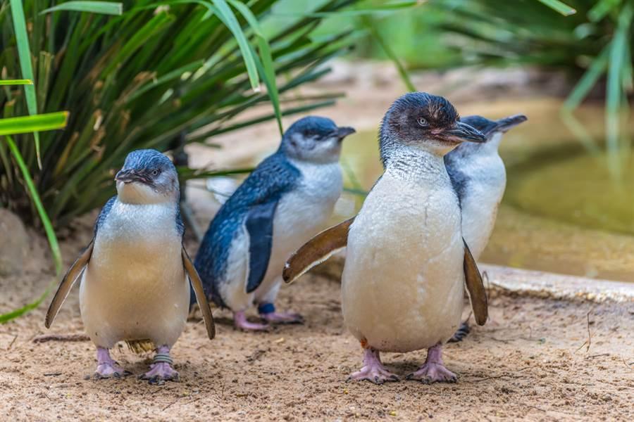 紐西蘭首都威靈頓車站附近一間壽司店15日發現2隻小藍企鵝在店內築巢,當局逮捕放生後,當天稍晚企鵝再度回到店裡繼續築巢,逼得保育人員再出動,並為牠們另尋安全築巢地點。圖中的小藍企鵝非當事企鵝。(圖/shutterstock)