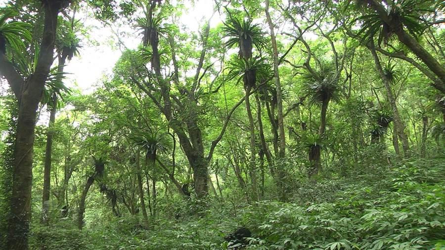 全台最大「山蘇林」位於台中桃山部落雪山坑,數千叢野生山蘇長在樹枝上,原始氛圍彷如置身侏儸紀世界。(王文吉攝)