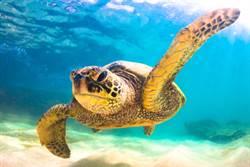 巨大海龜闖發電站卡住 解救過程驚險