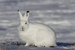 當北極兔站立 網驚:什麼生物!
