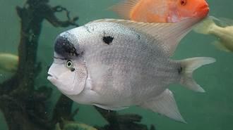 魚類同居挑戰多 慈鯛與子同行護家園
