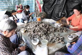 珍珠蚵產量銳減1/3  蚵農苦水往肚裡吞
