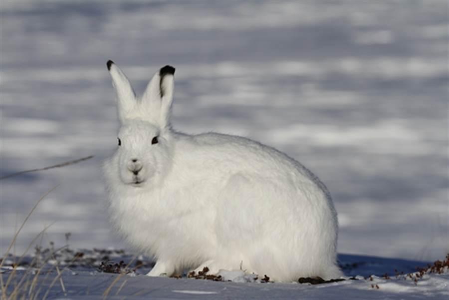 當北極兔站立 網驚:什麼生物!(圖片取自/達志影像)