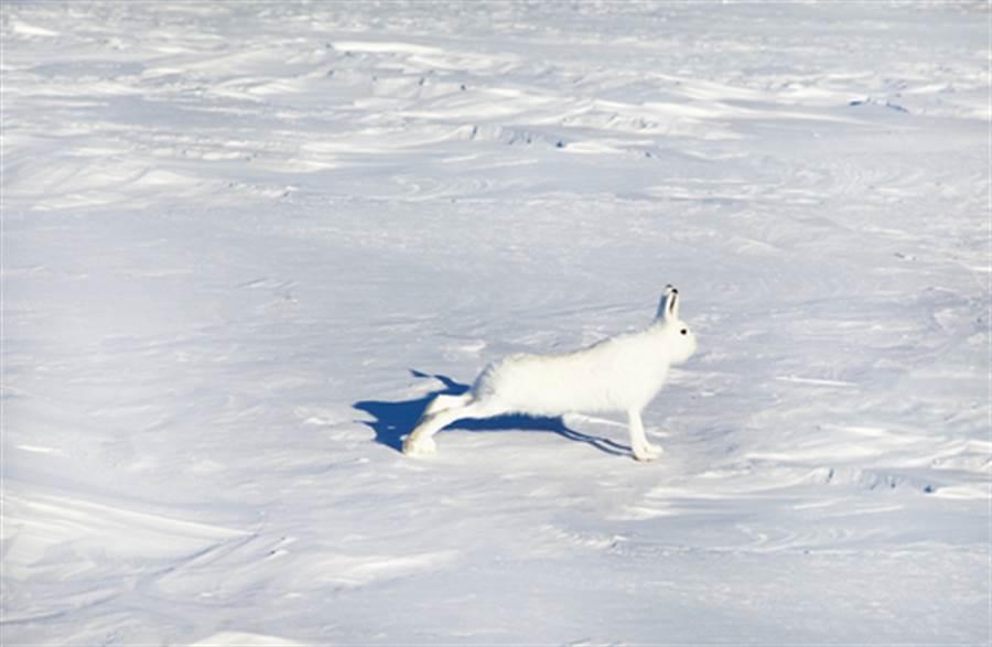 北極兔有修長美腿(圖片取自/達志影像)