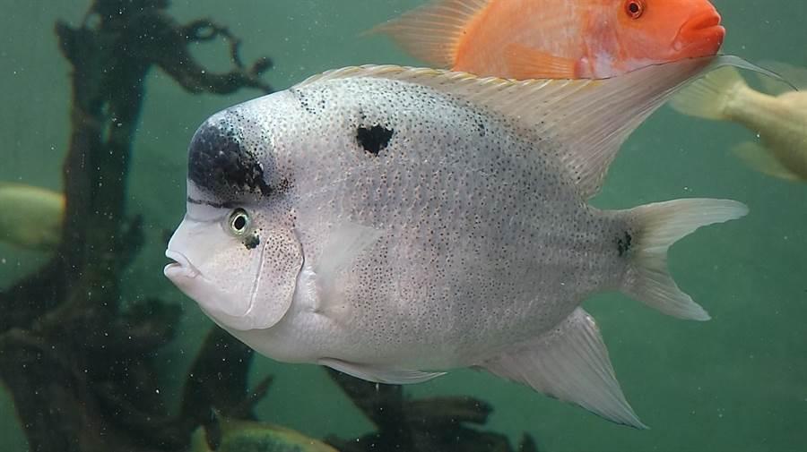 慈鯛科魚類會一直保護子代,直到牠們可以獨立生活為止 。(台北市立動物園提供)