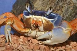 屋主回家驚百隻蟹爬滿牆 眾人看呆