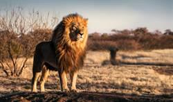 獵殺巨獅 變態夫妻竟在屍體旁…