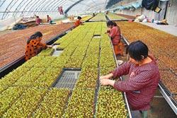 陸西瓜產銷升級 大棚種植是關鍵