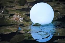 夏遊雙溪賞花趣!清池荷花透芬芳、夜間睡蓮耀閃光