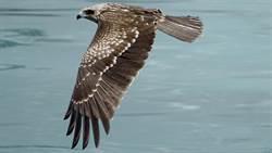 基隆市鳥黑鳶 繁殖成功率破紀錄