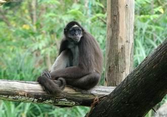 「熱帶雨林館」好夯!來看4隻小猴和大食蟻獸「耍武功」