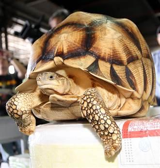 海關破動物走私  查獲地表最貴烏龜
