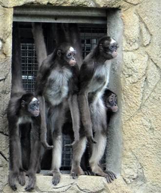 動物園棕蜘蛛猴F4耍屁孩  挑釁、偷食通通來