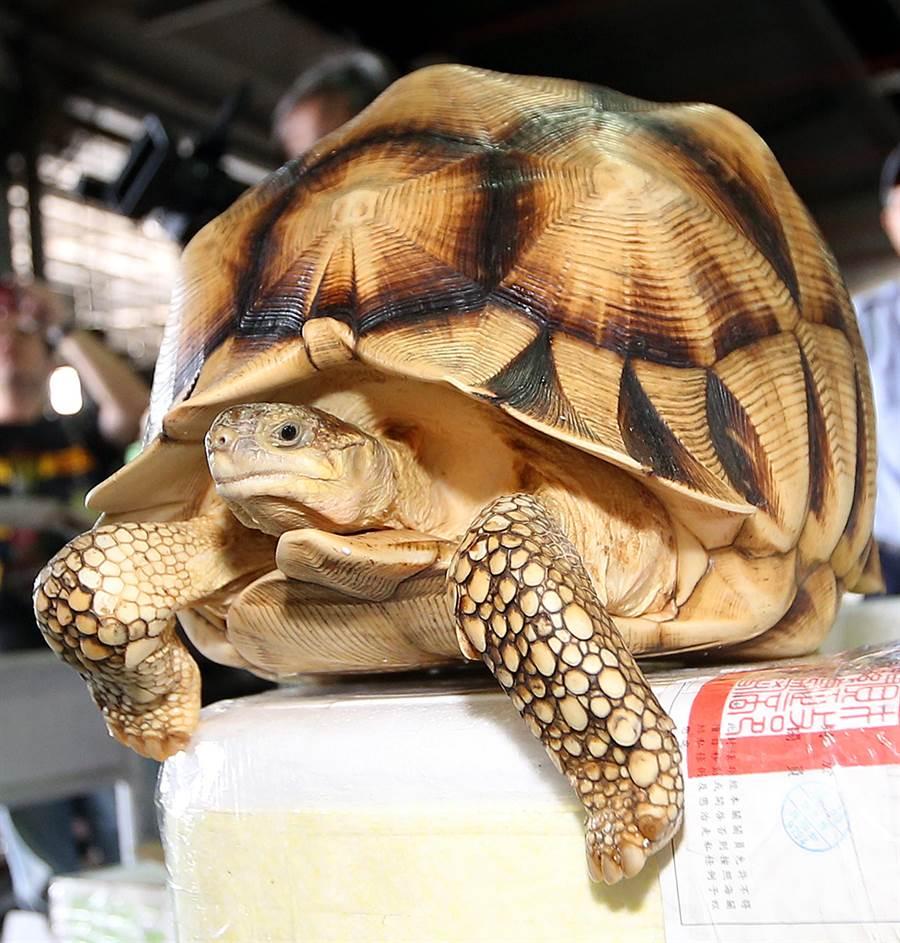 台北關19日在桃園機場查獲保育類動物走私案,包括兩隻相當罕見、市價超過新台幣2百萬元的安哥洛卡象龜。(范揚光攝)