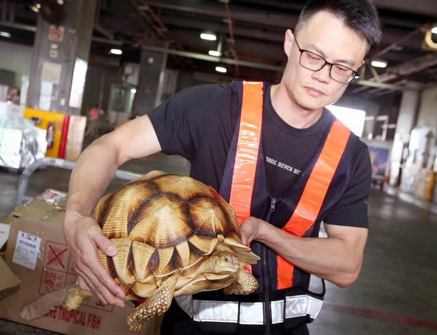 由於安哥洛卡象龜數量稀少外型特殊,在國內外的寵物市場非常搶手。(范揚光攝)